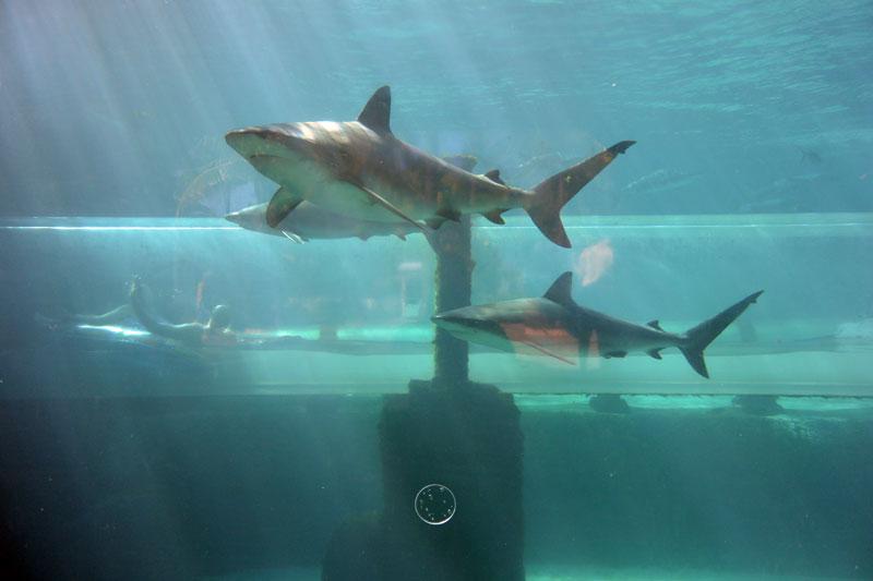Shark Tank Water Slide at Atlantis Paradise Island